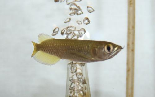 ノーザンバラムンディー 岐阜熱帯魚水草販売Grow aquarium