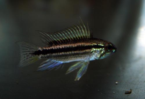 アピストグラマ ビタエニアータ アムピアク ワイルド 岐阜熱帯魚水草販売Grow aquarium