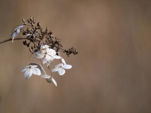 冬枯れ紫陽花 I