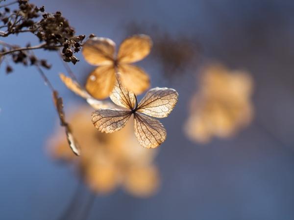 冬枯れ紫陽花 H