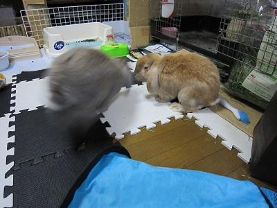 はしゃぐウサギと、迷惑そうなウサギ・・・
