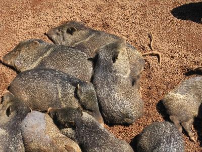 豚か猪の類