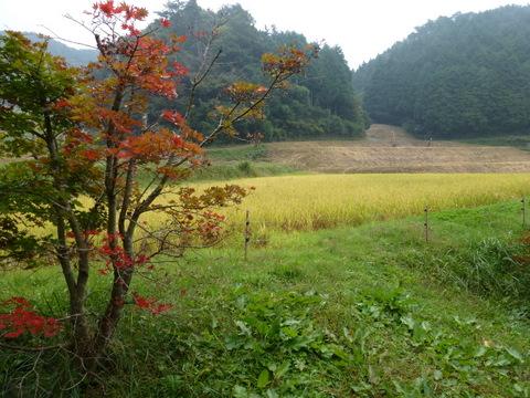 紅葉と田んぼ