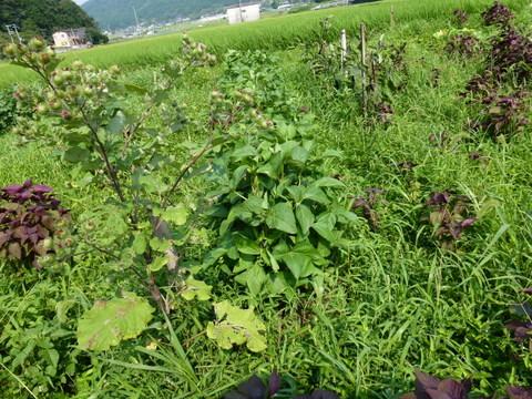 ゴボウと黒大豆の花