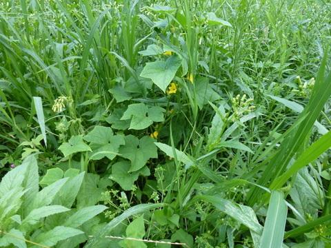フトキュウリ草の中で成長