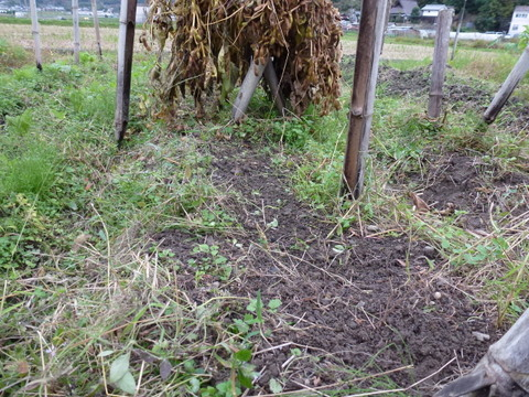 ウスイエンドウ種蒔き