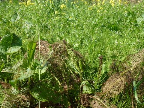 ギシギシと白菜の花