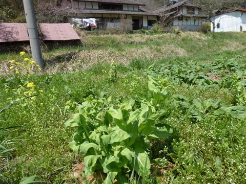 白菜の花芽