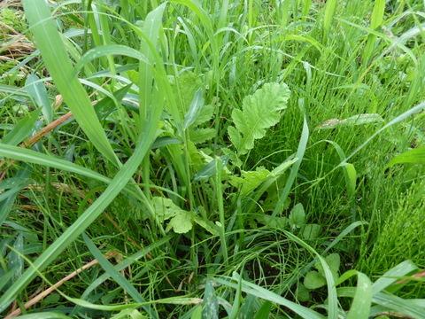草の中で頑張っているダイコン