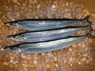秋刀魚、新鮮!