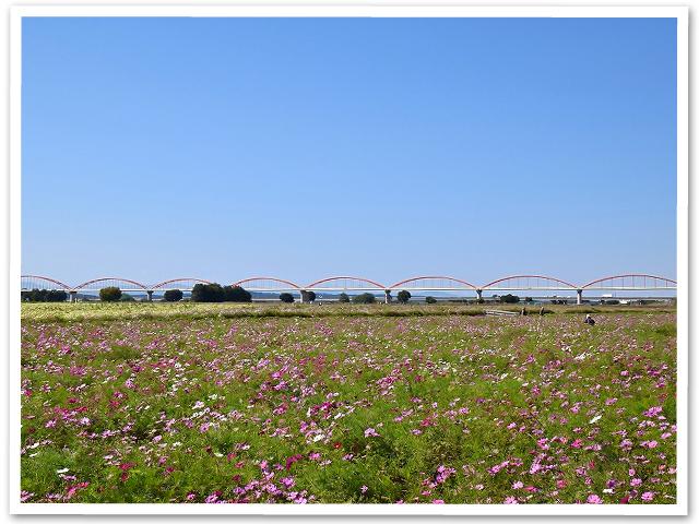 鴻巣のコスモス畑