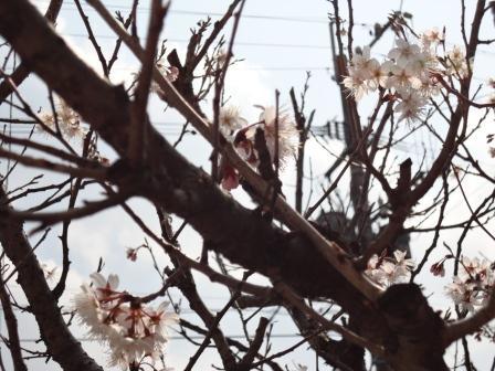 2012桜んぼうの花