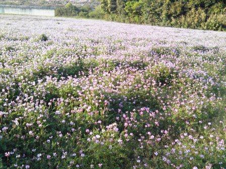 2012れんげ畑