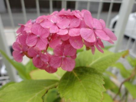 2012桃色紫陽花