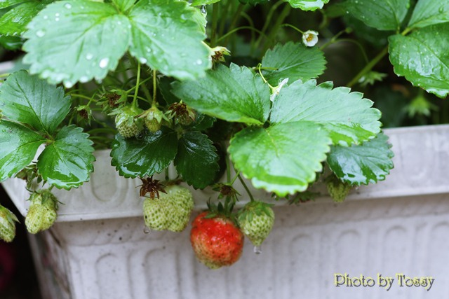 初なりのイチゴ
