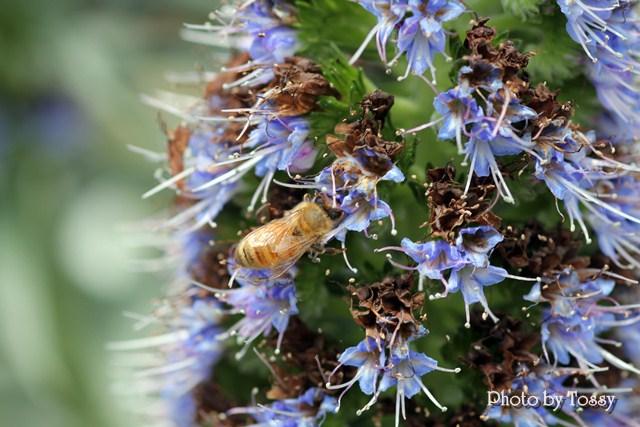 エキウム・カンディカンスとミツバチ