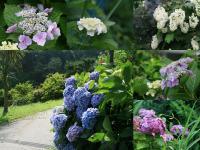 紫陽花アラカルト