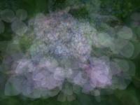 紫陽花饗宴-1
