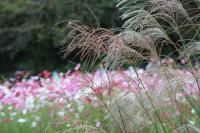 尾花と秋桜