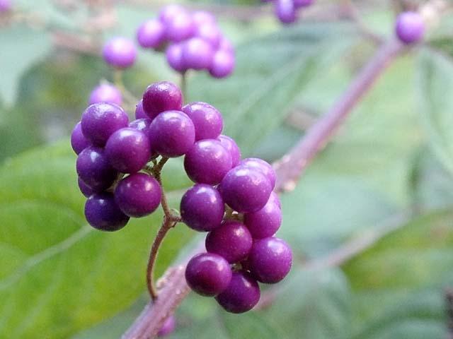 小紫(こむらさき)(34922 byte)