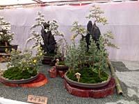 西日本菊花展(17330 byte)