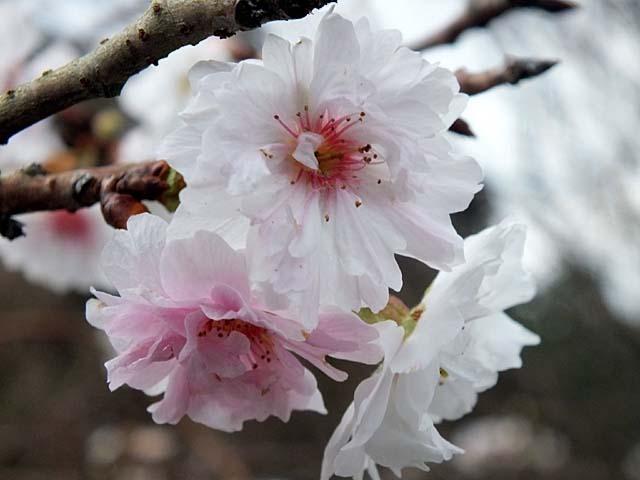 十月桜(じゅうがつざくら)(37814 byte)