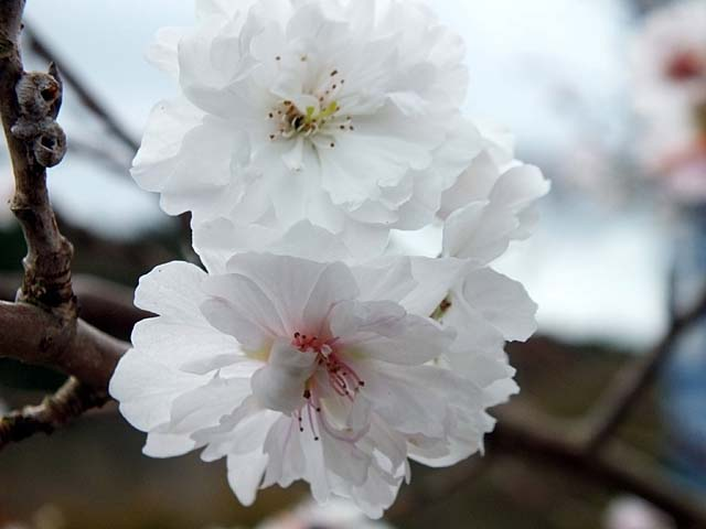 十月桜(じゅうがつざくら)(31242 byte)