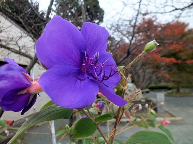 紫紺野牡丹(しこんのぼたん)(51504 byte)