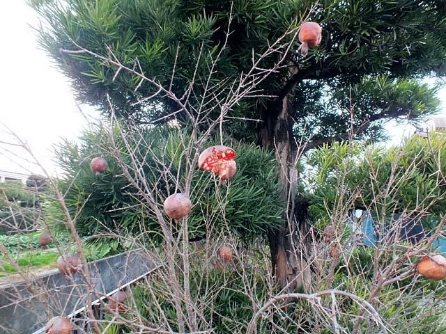 石榴(ざくろ)(106378 byte)