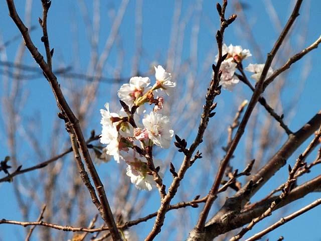 十月桜(じゅうがつざくら)(54614 byte)