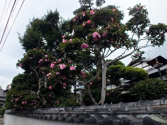 山茶花(さざんか)(77285 byte)