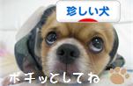 珍しい犬バナー815.jpg