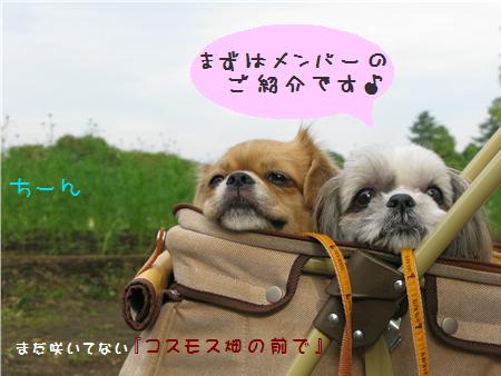 コスモス畑?.jpg