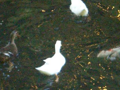 ホテルの池にいた アヒルさんとカモさん