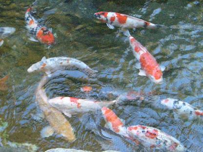 鯉もいっぱい!