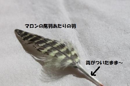 マロンのシマシマ尾羽・・