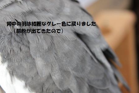 真っ黒だった羽も元のように・・