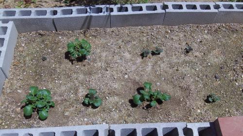 ジャガイモ。8つすべて芽が出た。