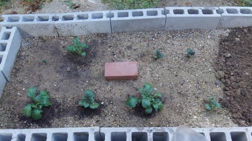 ジャガイモ・追肥と土寄せ