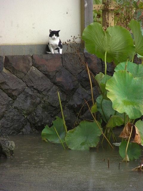 S八幡宮の猫