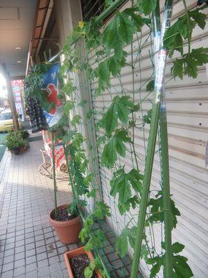 "crossFMの""緑のカーテン参加!"""