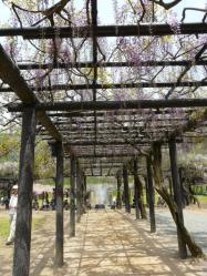 20110509藤公園~♪12
