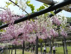 20110509藤公園~♪13