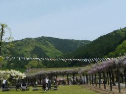 20110509藤公園~♪4