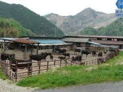 20110509出石~♪牛