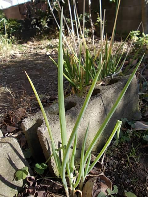 Kujou negi spring onion 20140109-2