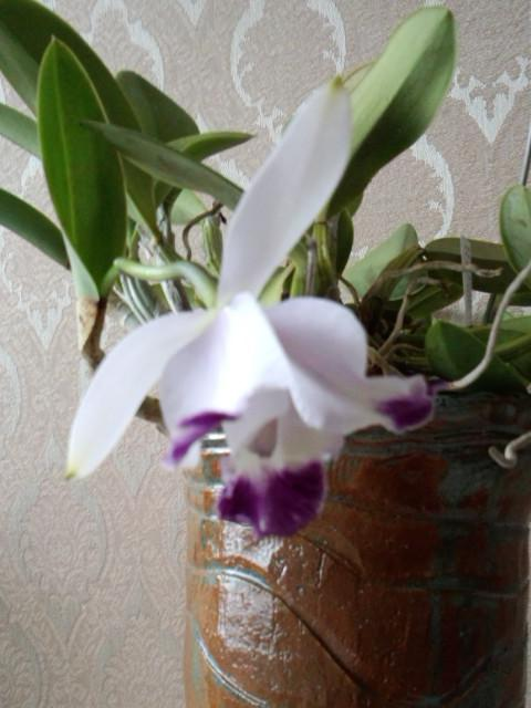 Lc. Cariad's Mini-Quinee seedling 20131227