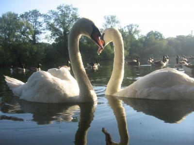Swan_convert_20111219020556.jpg
