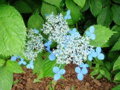 青いアジサイがきれい