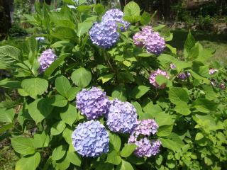 晴れ間の紫陽花